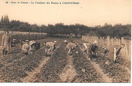 A/ 304        84      Carpentras           La Cueillette Des Fraises - Carpentras