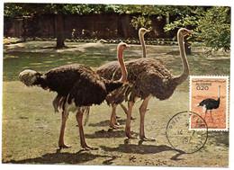 OISEAU /  AUTRUCHE =  ALGERIE 1967  N° 448  = CARTE MAXIMUM - Ostriches