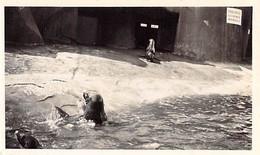 PHOTO ANCIENNE ZOO DE VINCENNES CIRCA 1960 BASSIN DES PHOQUES 11 X 7 - Lugares