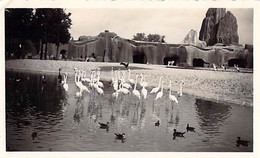 PHOTO ANCIENNE ZOO DE VINCENNES CIRCA 1960 BASSIN DES FLAMANTS ROSES 11 X 7 - Lugares