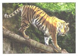 Tiger On Tree - Tigers