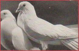 """Pigeons Mondains Blancs. Pigeon. Image Prisma. Image N°91. Album N°8: """"Les Bêtes De Chez Nous"""". Chocolat Cémoi. Grenoble - Otros"""