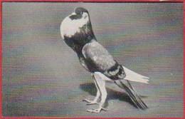 """Pigeon Boulant Français. Image N°93. Album N°8: """"Les Bêtes De Chez Nous"""". Chocolat Cémoi. Grenoble - Otros"""
