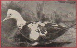"""Canard De Barbarie. Photo Prisma. Image N°105. Album N°8: """"Les Bêtes De Chez Nous"""". Chocolat Cémoi. Grenoble - Otros"""