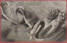 """Cygnes Noirs Australiens. Cygne. Photo Berinchi. Image N°108. Album N°8: """"Les Bêtes De Chez Nous"""". Cémoi. Grenoble - Otros"""