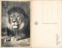NB - [515177]B/TB//-Belgique  - ANVERS - ANTWERPEN, Jardin Zoologique, Animaux, Félins, Lions - Andere