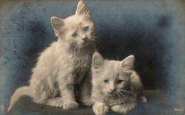 Chats-  Kitten,cats -kleine Katzen - Witte Poesjes - Katzen