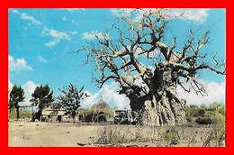 "CPSM/pf  EL-OBEID (Soudan) ""Tebeldi"" Baobab Tree At El-Obeid...E533 - Sudan"