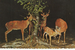 Deer This Young 'un Gets Some Loving Attention From An Older Member Of The Family - Andere