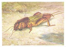 L.V.Aristov:Insect, Grasshopper, Gryllotalpa Gryllotalpa L., 1990 - Insects