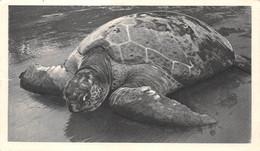 CPSM Moutarde AMORA - GUINEE ESPAGNOLE - Tortue De Mer - Timbrée, Oblitérée 1953 ( ͡◕︵ ͡◕) ♠ - Publicité