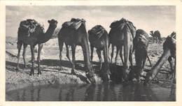 CPSM Moutarde AMORA - MAROC ESPAGNOL - Chameaux Se Désaltérant - Timbrée, Oblitérée 1953 ( ͡◕͜ʖ ͡◕) ♦ - Publicité