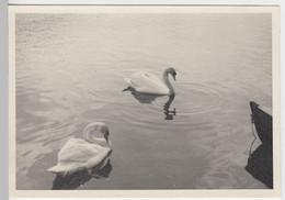 (F7329) Orig. Foto Zell Am See, Schwäne Im See 1940 - Otros