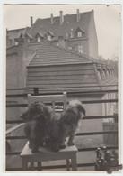(F8600) Orig. Foto Kleine Hunde Auf Dem Balkon, 1930er, Möglw. Erfurt - Otros