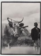 (F9747) Orig. Foto Petersdorf (Petre?ti Alba), Detail Rindergespann Vor 1945 - Otros