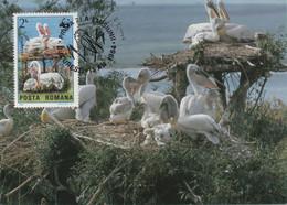 CARTE MAXIMUM- MAXICARD - CARTOLINA MAXIMA- MAXIMUM KARTE -MAXIMUM CARD -ROUMANIE -DALMATIAN PELICAN - Pelicanus Crispus - Pelicans