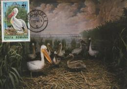 CARTE MAXIMUM- MAXICARD - CARTOLINA MAXIMA- MAXIMUM KARTE -MAXIMUM CARD -ROUMANIE - PELICAN CRET - Pelicanus Crispus - Pelicans