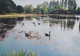 Canada Geese On Garden Lake, Newstead Abbey - Unused Postcard - Nottingham - Altri