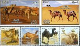 IRAQ 2013 CAMELS - Iraq