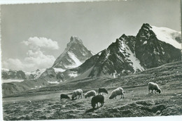 Sur L'Alpe 1959; Moutons - Voyagé. (A. Deriaz - Baulmes) - Andere