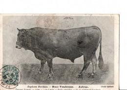 Espèces Bovines. - Race Vendéenne. - Aubrac.  Taureau Froment. Ecrite En 1906. Cliché Gaillard. 2 SCANS - Breeding