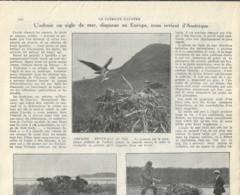 Oiseaux-Ornithologie-L'Orfraie Ou Aigle De Mer (Pygarque-Osprey) Disparue En Europe, Nous Revient D'Amérique-1929 - Animaux