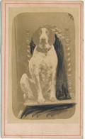 CDV - Portrait D'un Chien En Studio (anonyme - Ca 1900) - Oud (voor 1900)