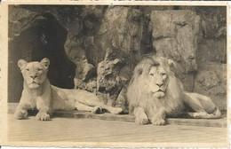 ANVERS-ANTWERPEN - Jardin Zoologique - Lion Et Lionne - N'a Pas Circulé - Photo Zoo - Antwerpen