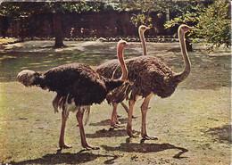 Huo-   Cpsm  AUTRUCHE 2 - Pájaros