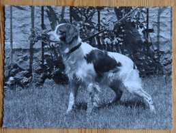Chien épagneul Breton - Photo Dim - Henri Dimont Photographe à Paris 10e Rue Chaudron - Format 12,5 X 10 Cm - (n°21263) - Cani
