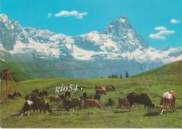 Aosta Valtournanche Monte Cervino Pascolo Mucche Fg Viaggiata In Busta - Unclassified