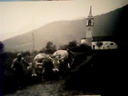 CONSONNO DI LECCO ARATURA CON BUOI Archivio Foto Pirola  1957   VB2021 TARIFFA B  SORGENTI CASSANO IRPINO IE8655 - Lecco
