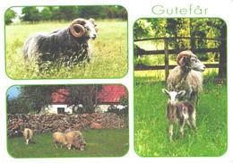 Sweden:Gotland, Gotland Sheep, Ram - Other