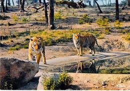 83 - Fréjus - Parc Zoologique - Les Tigres - Frejus