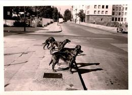 Photo Originale Animaux Chiens - Virée D'une Meute De Setter Irlandais Rouge Et Leur Ombre En Ville En 1958 - Non Classés