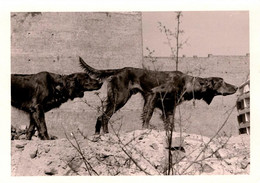 Amusante Photo Originale Animaux Chiens - Tête à Queue De Setter Irlandais Rouge En 1958 - Non Classés