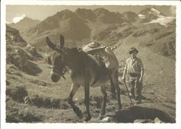 CPSM Suisse - Valais  * Mulet à L'alpage * - VS Valais