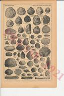 Planche De 1921 Coquillages Coquille Saint-Jacques Cancale Armoricaine De Vannes Belon Marenne Verte Ormier Etc 77CHV - Sin Clasificación