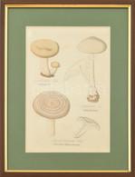 Gombafélék. Színes Metszet, Papír. XIX. Sz. Üvegezett Fa Keretben, 24,5×16,5 Cm - Gravados