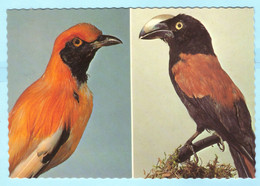 TIERE --- BRD - Vogel - Mehrbild - Haubengoldvogel - Heimvanga --- AK Postcard Cover (2 Scan)(13913AK) - Uccelli