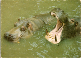 (2 A 25) Hippopotamus - Hippopotamuses