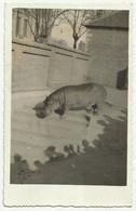 Hippopotamus HIPPO ZOO Beograd Serbia , Used 1938 - Hippopotamuses