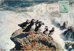 Carte Maximum Card Oiseau Bird Lundy 1960 Macareux Puffins - Altri - Europa