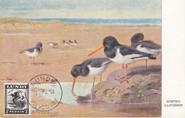 Carte Maximum Card Oiseau Bird Lundy 1956 Huitrier Pie Oyster Catcher - Europe (Other)