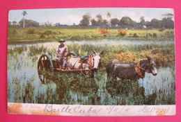 Cuba Post Card 1909 Mules Mulas  El Pantano Attelage Joli Plan  Sans Editeur Dos Scanné - Other