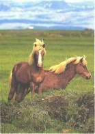 Horses, Isländer Horses - Horses