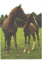 Horses, Standing Arab Horse With Foal - Horses