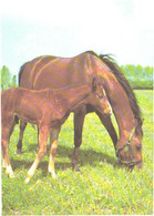 Horses, Eating Horse And Standing Foal - Horses