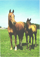 Horses, Standing Horse And Foal - Horses