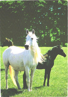 Horses, Standing White Horse And Black Foal - Horses